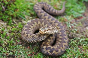 Protected Species - European Adder