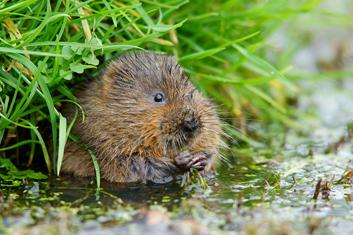 Protected Species - Water Vole
